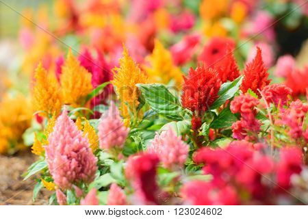 Colorful cockscomb flowers Red and yellowShallow depth of field