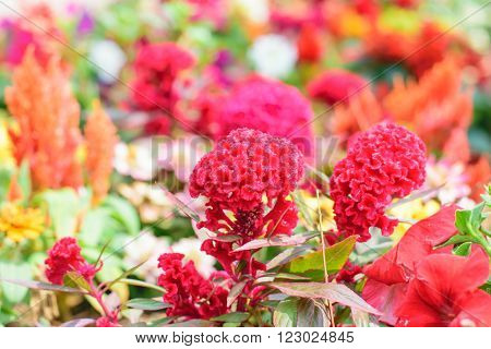 Cockscomb flower or Chinese Wool flower plant in a park