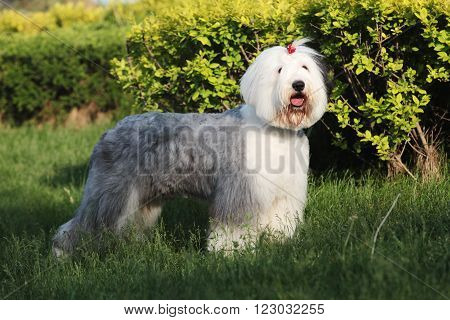 The Old English Sheep dog in outdoors