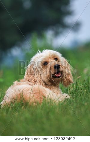 Mixed Cocker Spaniel