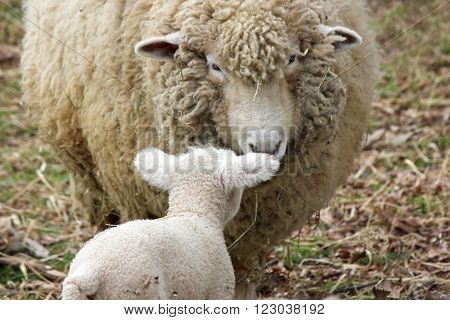 A mother sheep with her newborn in a field on a farm.