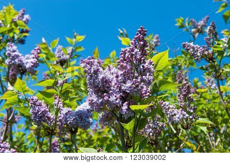 Purple lilac bush sort Syringa Oleaceae and blue sky in spring time