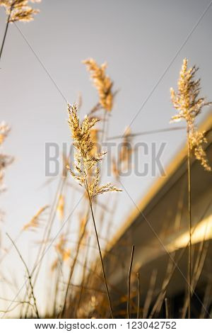 Reeds in late sunlight against a bridge background