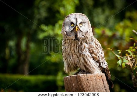 Large owl observing the world from a pol