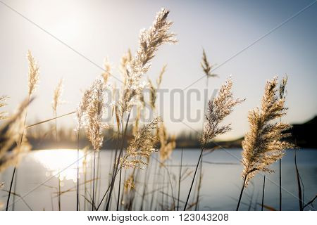 Award winning picture of reed in hard sunlight on a cold winters day
