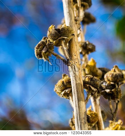 Dead flowers on the stem of a rose tremmiere
