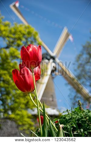 Typical dutch scene with tulips and windmill