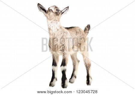 Portrait of a young goat standing isolated on white background