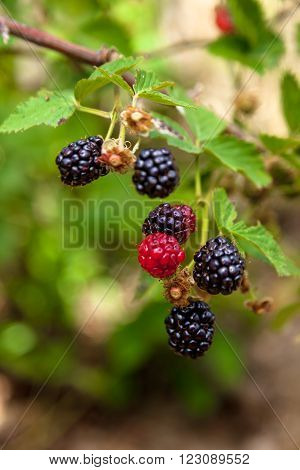 Blackberries Branches
