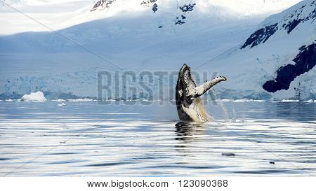 Hampback whale breaching jumping  in Antarctica picture from boat