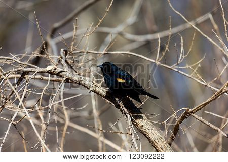 Red Winged Blackbird in a Boreal Forest Quebec.