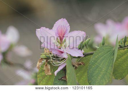 Bauhinia Blakeana Or Hong Kong Orchid Flower