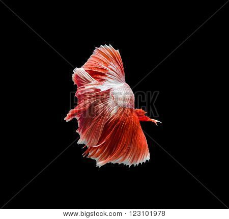 Capture The Moving Moment Of Red Siamese Fighting Fish , Betta