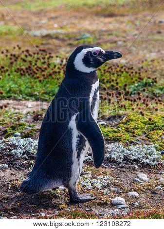 Magellanic Penguin, Seno Otway - Punta Arenas, Chile
