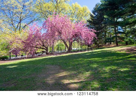 spring blooming tree in the Central park New York