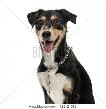 Close up of a Cross-breed dog looking at the camera and sticking his tongue out, isolated on white
