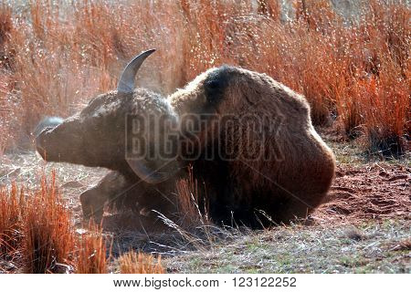 American Bison Buffalo rolling in the dirt in Custer State Park in the Black Hills of South Dakota USA poster