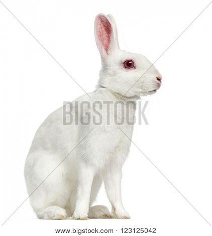 White albino hare sitting, isolated on white