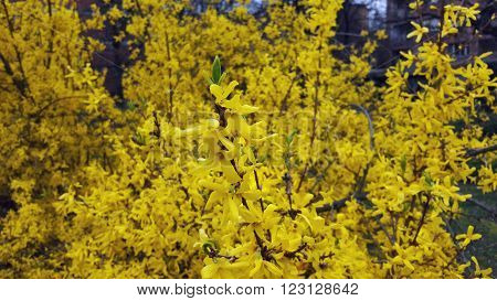 Branches of Blooming Forsythia (Forsythia), family of black olives