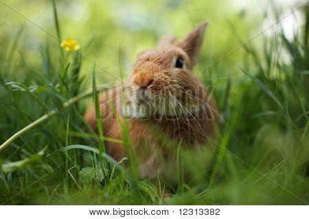 Rabbit In Green Grass