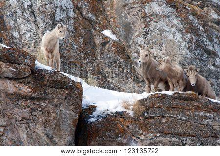 Four Young Bighorn Mountain Sheep outside Jackson Hole Wyoming USA