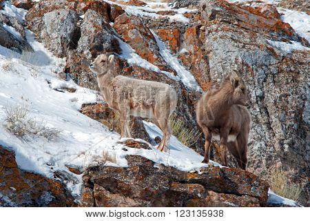 Two Young Bighorn Mountain Sheep outside Jackson Hole Wyoming USA on a rock cliff ledge