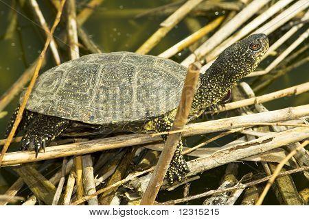 The European marsh turtle