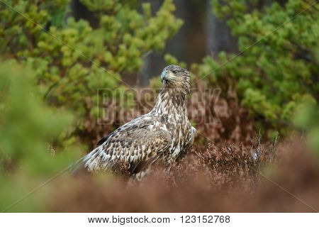 White-tailed eagle (Haliaeetus albicilla) on the ground.