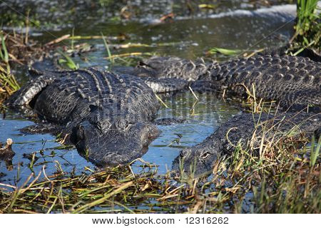 Group of Alligators