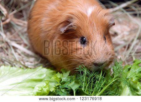 Red guinea pig eat green salad leaf. Cute pet.