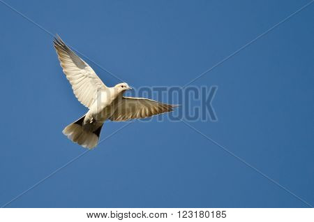 Eurasian Collared-Dove Flying in a Blue Sky