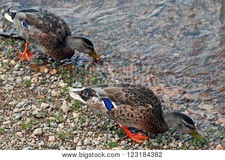 Female Ducks in Estes Park near Rocky Mountain National Park Colorado USA