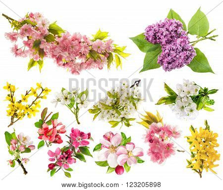 Blossoms of apple tree cherry twig pear forsythia lilac. Set of spring flowers isolated on white background