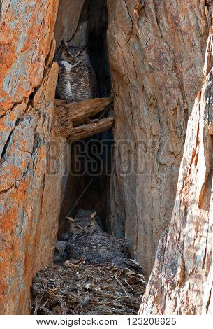 Californian Great Horned Owls with baby fledgling chicks in a rock cliff face nest in Lake Isabella California USA in the southern Sierra Nevada Mountains in Central California