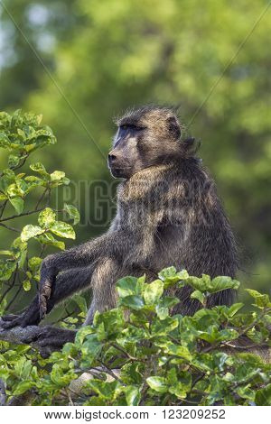 Specie Papio ursinus family of Cercopithecidae, chacma baboon inn a tree, Kruger South Africa