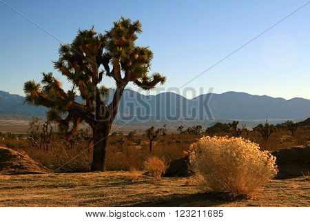 Joshua Tree in the high desert of southern California USA near Palmdale and Lake Los Angeles with the San Gabriel Mountains in the background