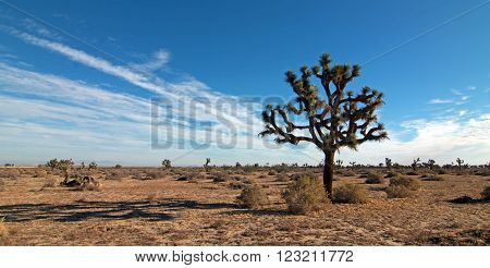 Joshua Tree in the high desert of southern California USA east of Palmdale and Lancaster