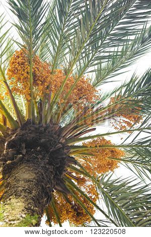Dates on a palm tree against the sky.
