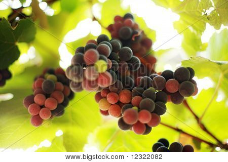 Grapes on grapevine