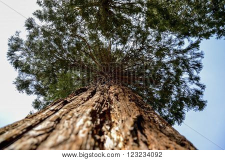 high beautiful tree with beautiful crown on top ** Note: Shallow depth of field