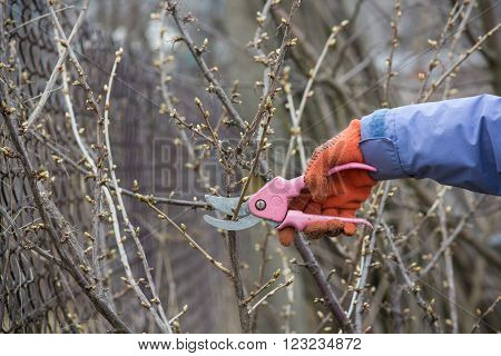 Work in the garden. Man cutting branches of berry bushes using secateurs.