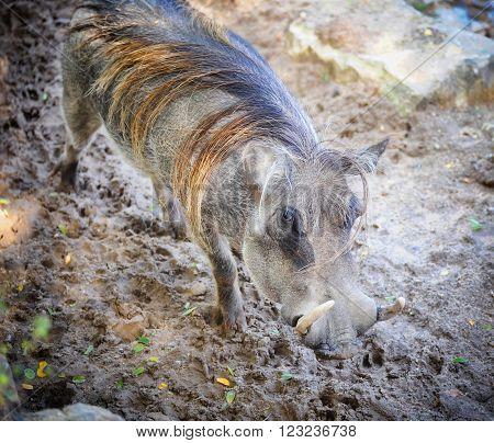 Warthog goes slowly. Looking at the camera