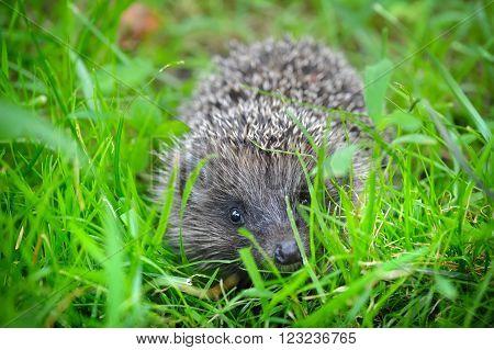 Western European Hedgehog (erinaceus) In A Grass