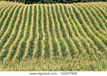 Green and Yellow Corn Rows Looking From Above