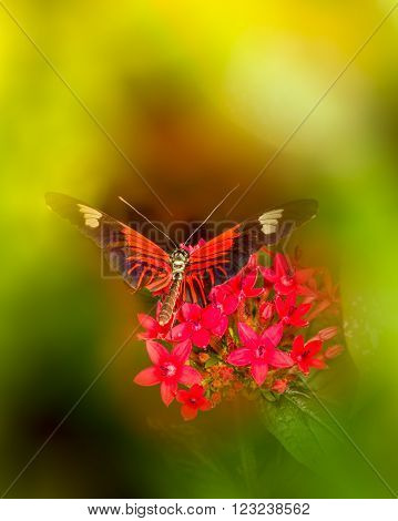 Colorful Doris Longwing butterfly resting on bright red penta flowers