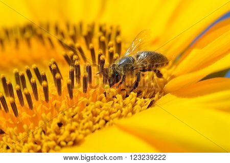 Honeybee collects nectar on the flowers of a sunflower ** Note: Shallow depth of field