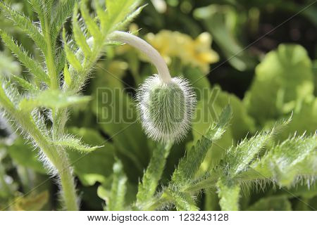 Wooly green bud poppy flower  in sunny day in spring.