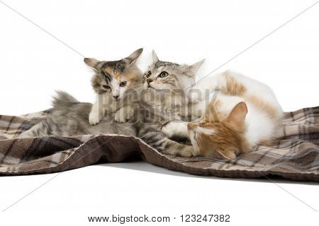 three kittens Kuril Bobtail on white background