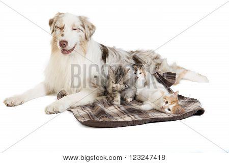 Kuril Bobtail and Australian Shepherd on white background