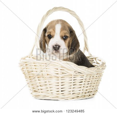beagle puppy in a basket on a white background in studio